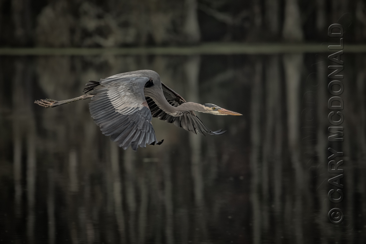 Great Blue Heron-Cary McDonald-0210-99-Edit