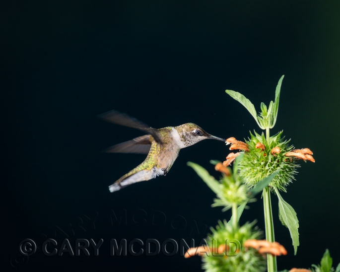 Humming-bird-flash-20180901-2-1