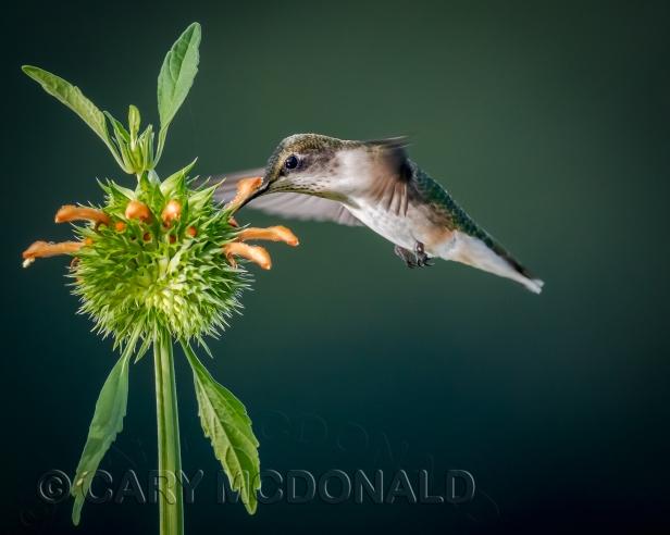 Humming-bird-flash-20180901-6-Edit-1