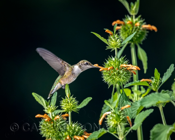 Humming-bird-flash-20180901-9-2-Edit-1